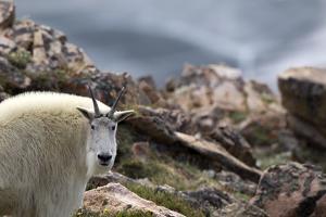 Portrait of a Mountain Goat, Oreamnos Americanus, in Rocky Terrain by Robbie George