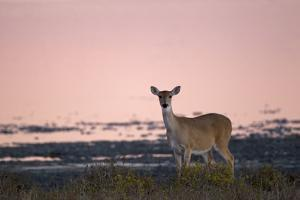 Portrait of a White-tailed Deer on the Gulf Coast at Sunrise by Robbie George