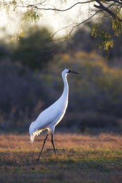 Portrait of a Whooping Crane, Grus Americana, Walking by Robbie George