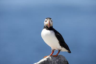 Portrait of an Atlantic Puffin, Fratercula Arctica by Robbie George