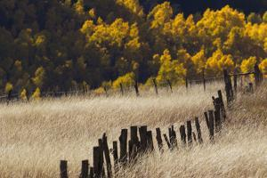 Tall Grasses in a Fenced Field with Golden Aspen Trees in the Distance by Robbie George