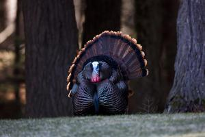 The Male Wild Turkey Puts on a Prominent Display with its Feathers in Hopes of Attracting a Mate by Robbie George