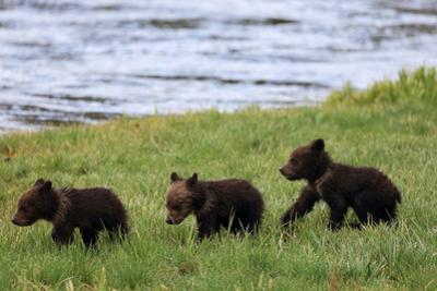 Three Grizzly Bear Cubs, Ursus Arctos, Walking in a Line Alongside a River
