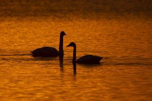 Tundra Swans, Cygnus Columbianus, Silhouetted by An Orange Sunset by Robbie George