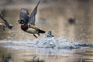 Wood Ducks, Aix Sponsa, Taking Flight from the Water by Robbie George