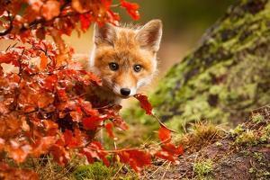 Fox by Robert Adamec