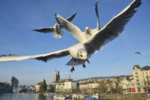 Seagulls over the City of Zurich, Switzerland by Robert Boesch