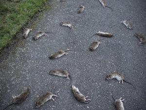 Rats by Robert Brook