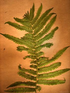 Fern Leaves by Robert Cattan