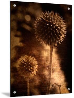 Sepia Dandelions by Robert Cattan