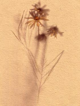 Wilted Flower and Stem Sketch by Robert Cattan