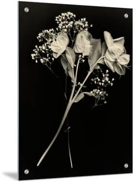 Wilted White Rose and Baby's Breath in Black and White by Robert Cattan