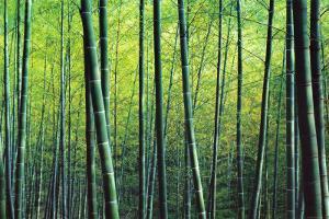 The Bamboo Grove by Robert Churchill