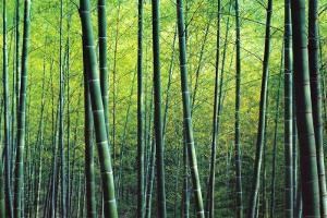 The Bamboo Grove by Robert Churchill