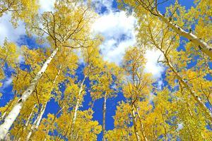Autumn Foliage: Aspen Trees in Fall Colors by robert cicchetti