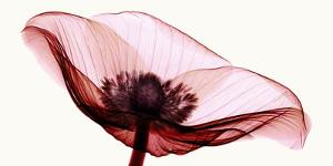 Anemone I by Robert Coop