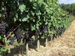 Vineyard, Gaillac, France by Robert Cundy