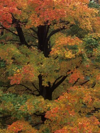 Maple Sugar Tree Changing to Fall Foliage (Acer Saccharum), North America by Robert Domm