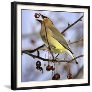 A Cedar Waxwing Tosses up a Fruit from a Flowering Crab Tree, Freeport, Maine, January 23, 2007 by Robert F. Bukaty