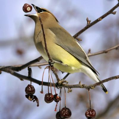 A Cedar Waxwing Tosses up a Fruit from a Flowering Crab Tree, Freeport, Maine, January 23, 2007