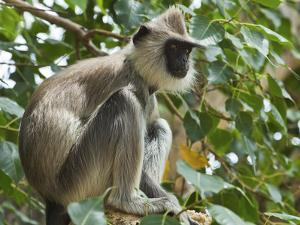 Grey (Hanuman) Langur Monkey in This Sacred Pilgrimage Town, Often Seen Begging at Temples, Katarag by Robert Francis