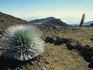 Silverswords Growing in the Vast Crater of Haleakala, Maui, Hawaii, Hawaiian Islands, USA by Robert Francis