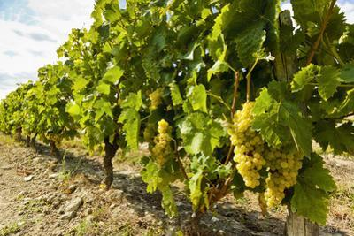White grapes on a vine near the salt marshes of the island's north west coast, Le Gillieux, Ile de  by Robert Francis