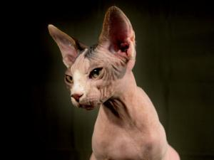 Young Hairless Sphinx Cat by Robert Ginn