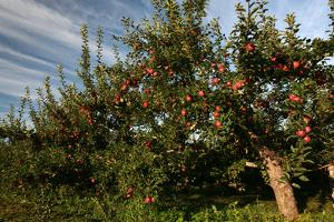 Apple Orchard Streaked Sky by Robert Goldwitz