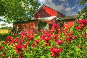 Monarda and Red Barn by Robert Goldwitz
