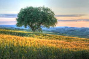 Tuscan Tree Pink Sunset by Robert Goldwitz