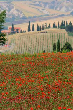 Tuscan Vertical Poppies by Robert Goldwitz