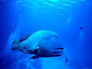 Maori Wrasse at Cod Hole, Great Barrier Reef by Robert Halstead