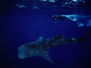 Whale Shark and Diver by Robert Halstead