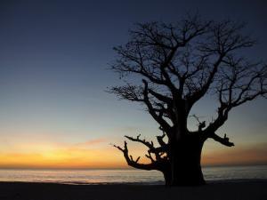Baobab Tree, Sine Saloum Delta, Senegal, West Africa, Africa by Robert Harding