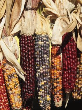 Indian Ornamental Corn,The Hamptons, Long Island, New York State, USA by Robert Harding