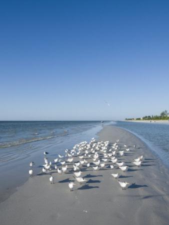 Royal Tern Birds on Beach, Sanibel Island, Gulf Coast, Florida by Robert Harding