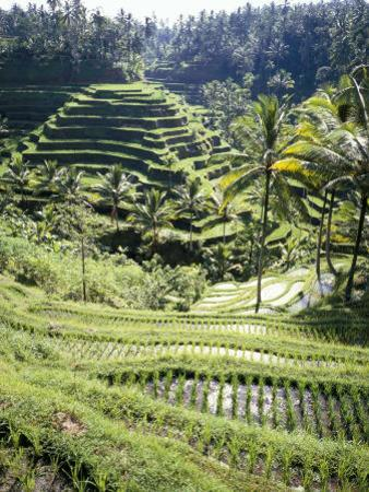 Terraced Rice Fields, Bali, Indonesia, Southeast Asia