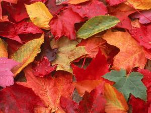 Fall Leaves by Robert Houser