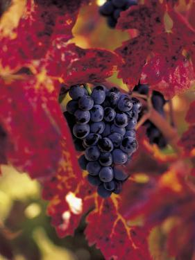 Grapes Ready for Harvest, Napa Valley, CA by Robert Houser