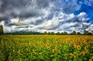Sunflower Field by Robert Lott