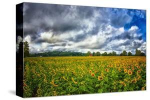 Sunflower Field by Robert Lott