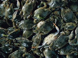 Crabs Caught in the Grasses off Smith Island by Robert Madden