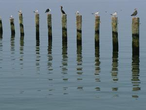 Gulls Perched on Pilings by Robert Madden