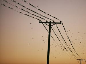 Silhouetted against a Twilight Sky, a Flock of Birds Rests on Telephone Wires by Robert Madden