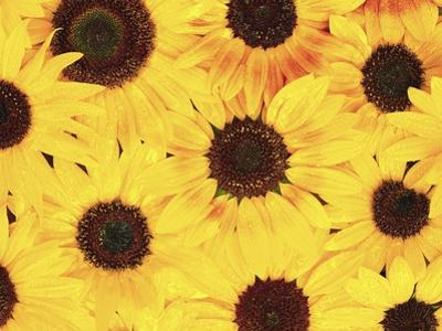 Dew on Sunflowers by Robert Marien