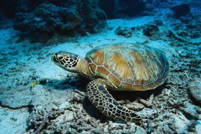 Green Turtle on Sea Floor