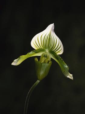 Hybrid Orchid by Robert Marien