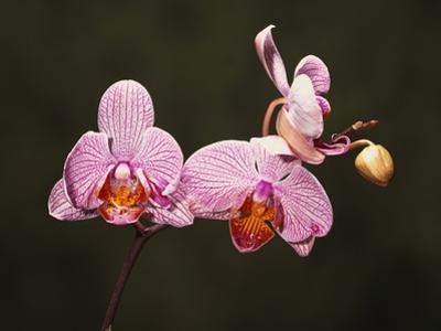 Phalenopsis Carmelas Gem by Robert Marien