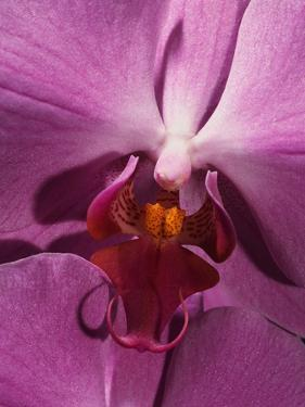 Purple Moth Orchid by Robert Marien